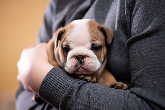 🔥Realistic Bulldog Happy