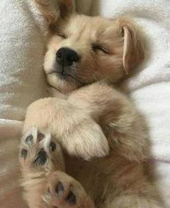 Realistic Golden Retriever Puppy Hunde